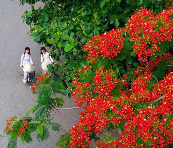 van bieu cam ve cay phuong - Văn biểu cảm về cây phượng