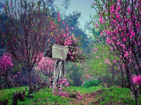 unnamed file 164 - Tả cây hoa đào ngày tết