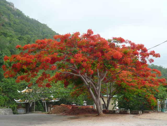 unnamed file 6 - Bài văn mẫu tả cây phượng vĩ hay nhất